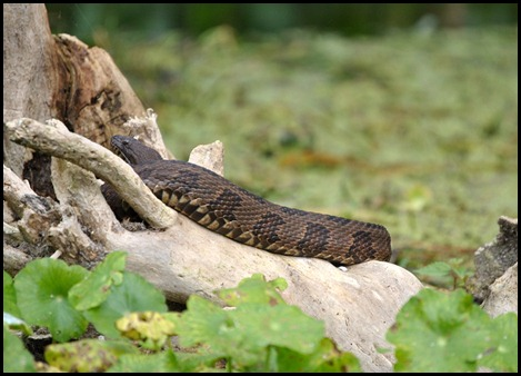 08 - Animals - Water Moccasin