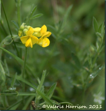 5-meadow vetchling