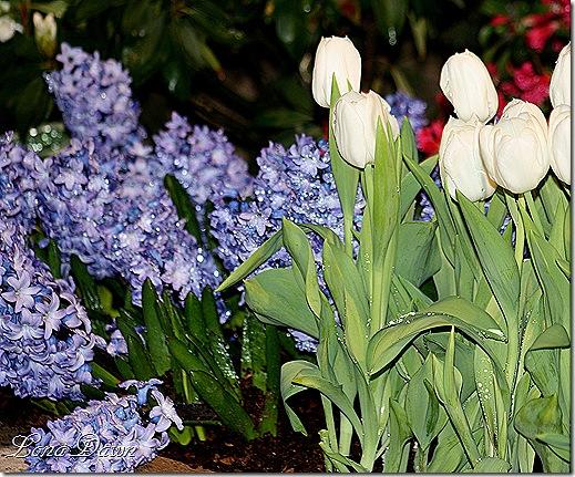 Hyacinths_Tulips