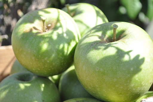 Granny Smith apples for an apple cake needed to be harvested to remove a bit ...