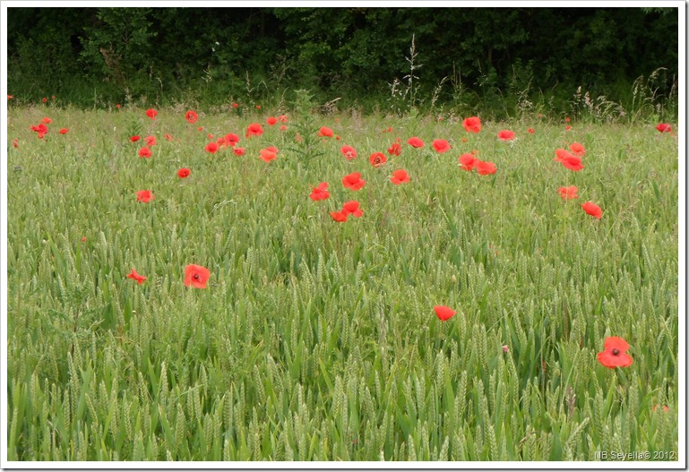 SAM_1129 Poppys near Thrupp