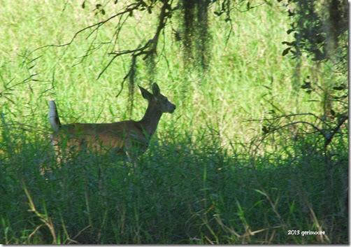 Myakka deer 085