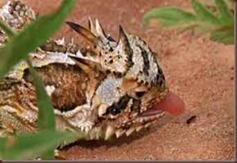Amazing Pictures of Animals, photo, Nature, exotic, funny, incredibel Zoo, Horned lizard, Phrynosoma, Reptilia, Alex (12)