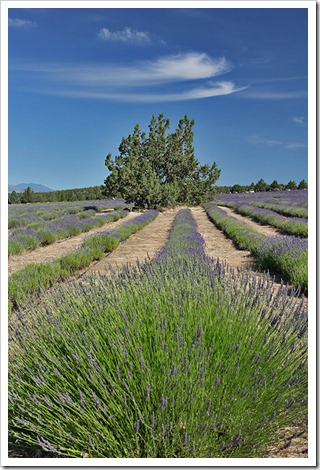 110710_Mt_Shasta_Lavender_Farm_41