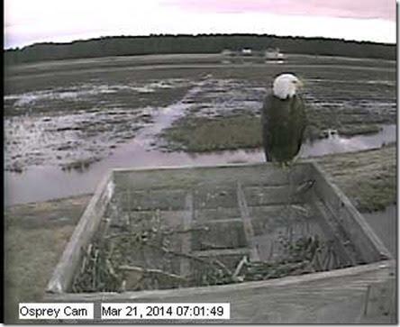 osprey-eagle