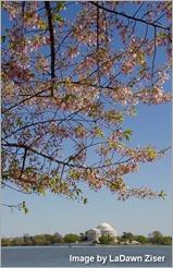 Cherry Blossom LD