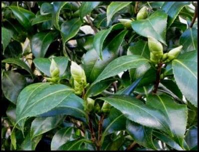 camellia-buds5