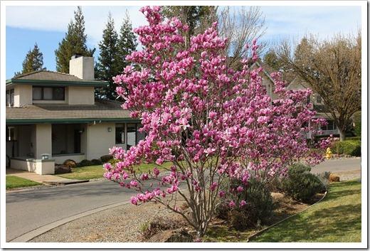 120222_Magnolia-liliiflora