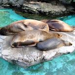 seals at ueno zoo in Ueno, Tokyo, Japan