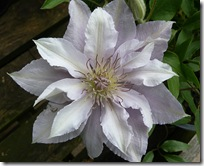 smeaton clematis