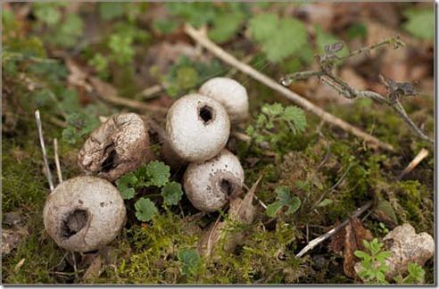 Old Puffball Fungi