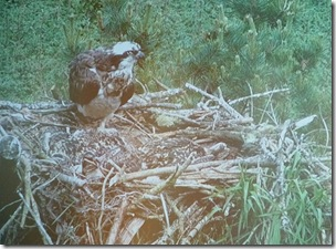 mother osprey and camoflaged chiicks