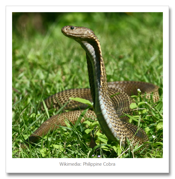 Most Venomous Cobra