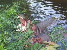 2013.08.04-024 hippopotames