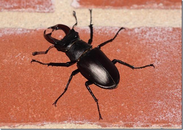 stag_beetle1