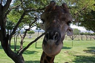 Pulling faces, Giraffe, Lion Park Johannesburg