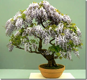 Bonsai1