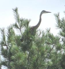 great blue heron 7.30.13 young one on pine tree learning to fly2