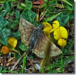 dingy skipper Anglesey June 2014 (1)