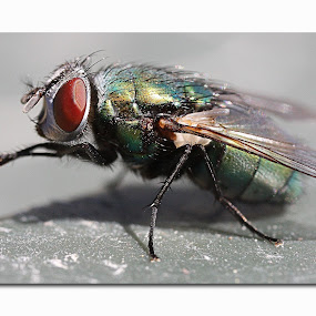 The Fly by West Aus Storms . - Animals Insects & Spiders ( fly, wings, green, bug, insect, hair )