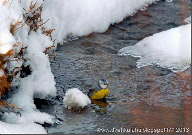 tilhe linnut kylpee keltasirkut 060
