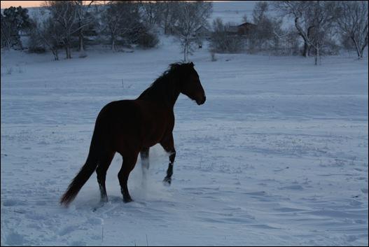 snow horses 058