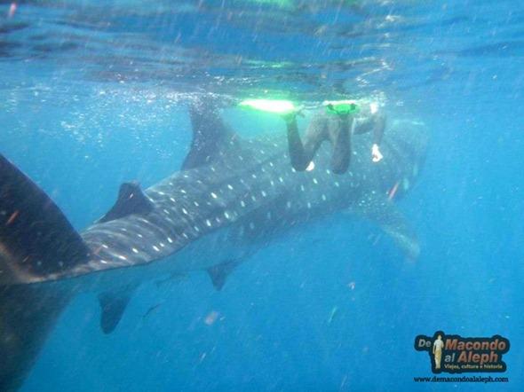Viajar a Isla Holbox Nadar con el Tiburon Ballena 9