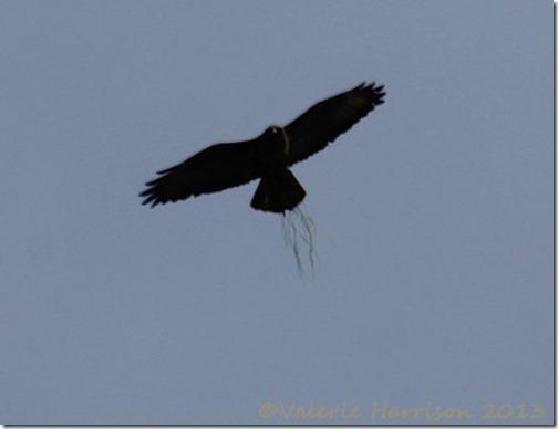 57-buzzard