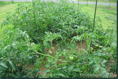 tomatoes0621 (1)