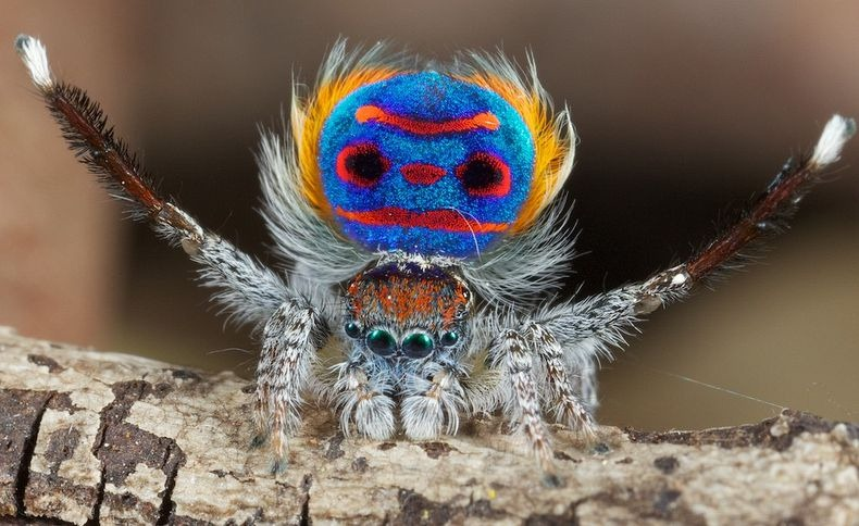 peacock-spider-1