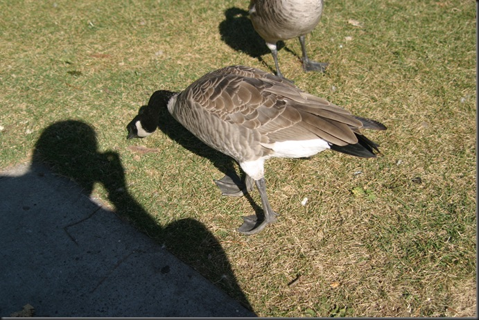 Geese at my feet