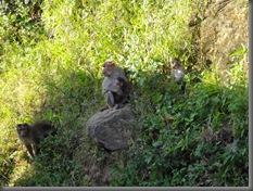 Nilgiri Mountains Apes 1