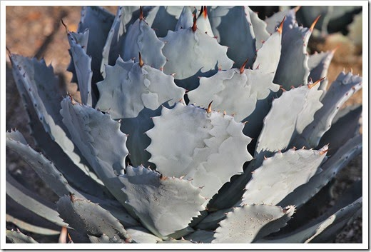 110223_Agave-potatorum