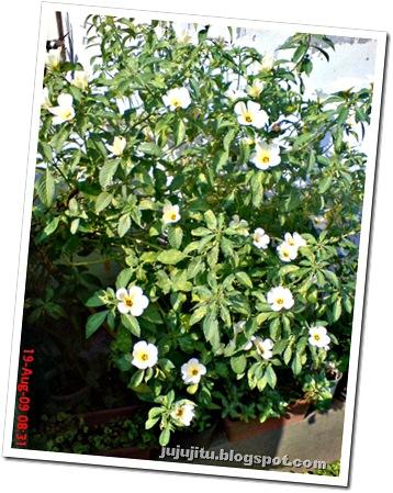 white alder Turnera subulata bunga pukul delapan 01