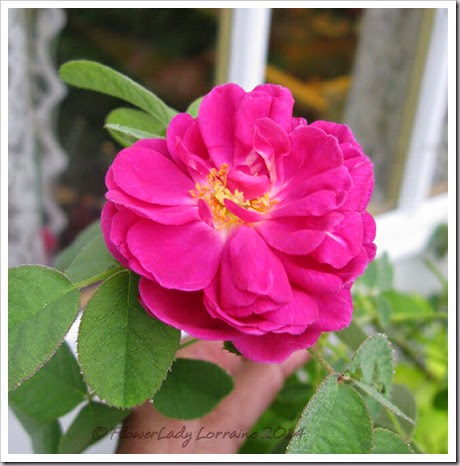 10-22-rose-de-rescht