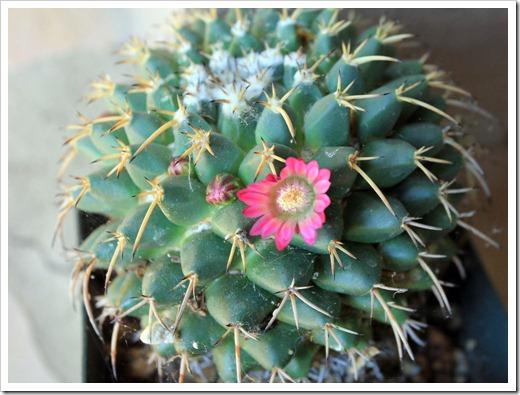 130503_Mammillaria-sp_01