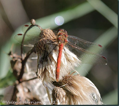 7-common-darter