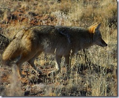 coyote one