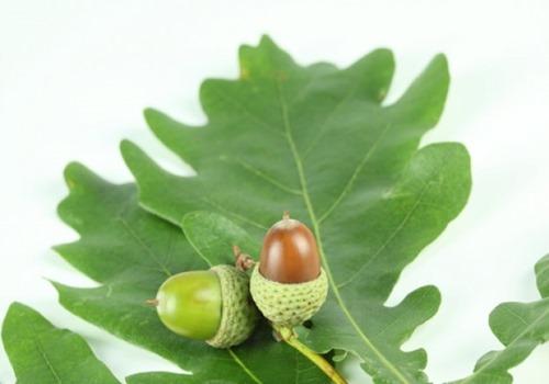 hojas-verdes--roble_3205506