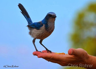 19. Chris 3-20-14 FL scrub jay photo