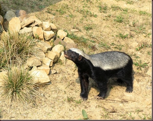 Amazing Animals Pictures  honey badger (Mellivora capensis) (5)