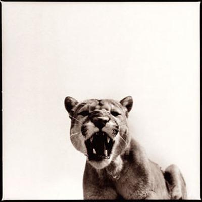 cougar-1_D