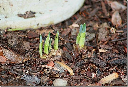 November_Daffodils