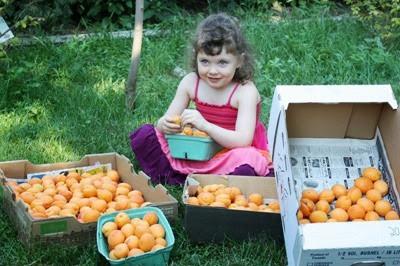 apricot farmer