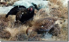 black grouse and grouse