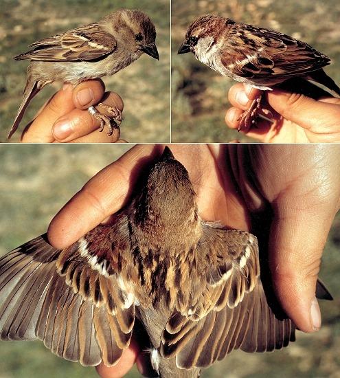[gynandromorph-house-sparrow-tri%255B15%255D.jpg]