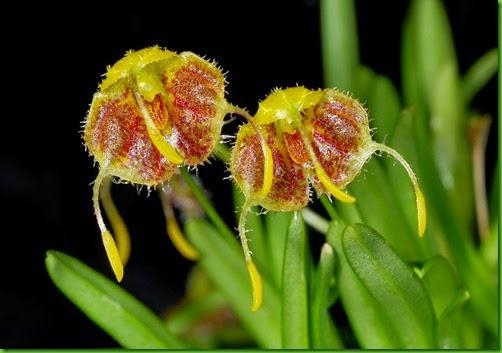 OR Diodonopsis erinacea