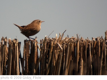 'Wren sat on reed screen, Leighton Moss RSPB, May 2009' photo (c) 2009, Gidzy - license: http://creativecommons.org/licenses/by/2.0/