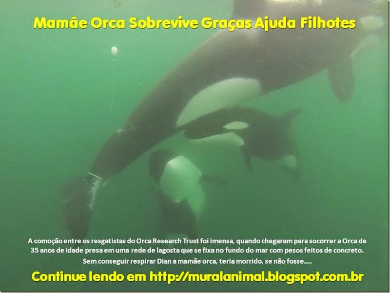 Mamãe Orca Sobrevive Graças Ajuda Filhotes