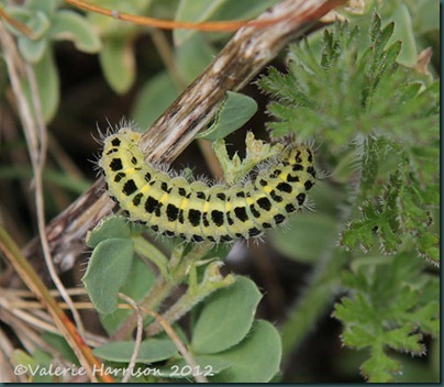51-six-spot-burnet-caterpillar